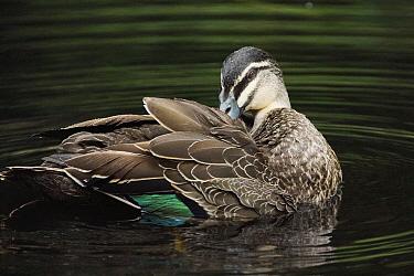 Pacific Black Duck (Anas superciliosa) preening, Australia  -  Hiroya Minakuchi