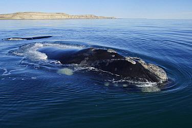 Southern Right Whale (Eubalaena australis) surfacing, Valdes Peninsula, Argentina  -  Hiroya Minakuchi