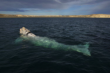 Southern Right Whale (Eubalaena australis) white morph surfacing, Valdes Peninsula, Argentina  -  Hiroya Minakuchi