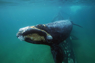 Southern Right Whale (Eubalaena australis) mother and calf, Valdes Peninsula, Argentina  -  Hiroya Minakuchi