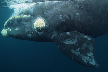Southern Right Whale (Eubalaena australis) at surface, Valdes Peninsula, Argentina  -  Hiroya Minakuchi