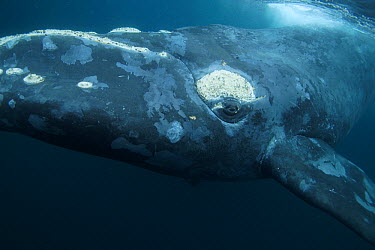Southern Right Whale (Eubalaena australis), Valdes Peninsula, Argentina  -  Hiroya Minakuchi