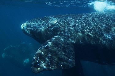 Southern Right Whale (Eubalaena australis) calf near surface, Valdes Peninsula, Argentina  -  Hiroya Minakuchi