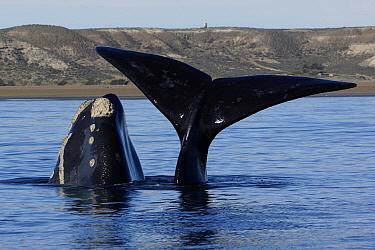 Southern Right Whale (Eubalaena australis) calf at surface with mother diving, Valdes Peninsula, Argentina  -  Hiroya Minakuchi
