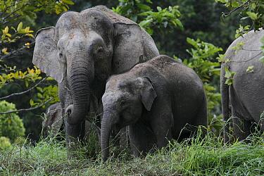 Borneo Pygmy Elephant (Elephas maximus borneensis) mother and calf feeding, Borneo, Malaysia  -  Hiroya Minakuchi
