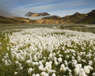 White Cottongrass (Eriophorum scheuchzeri) field in valley, Landmannalaugar, Fjallabak Nature Reserve, South Iceland, Iceland  -  Rob Brown/ Hedgehog House