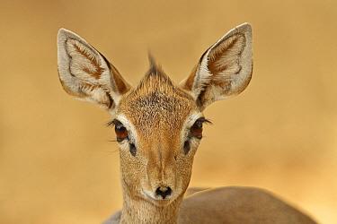 Kirk's Dik-dik (Madoqua kirkii), Samburu-Isiolo Game Reserve, Kenya  -  Winfried Wisniewski