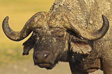 Cape Buffalo (Syncerus caffer) bull, Lake Nakuru National Park, Kenya  -  Winfried Wisniewski