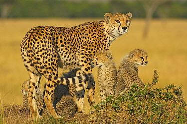 Cheetah (Acinonyx jubatus) female with cubs, Masai Mara, Kenya  -  Winfried Wisniewski