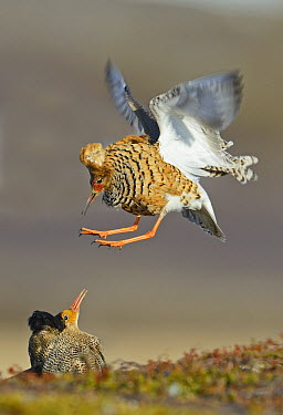 Ruff (Philomachus pugnax) males fighting at lek, Varanger Peninsula,Norway  -  Winfried Wisniewski