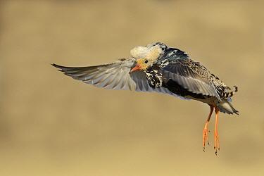 Ruff (Philomachus pugnax) male flying at lek, Varanger Peninsula, Norway  -  Winfried Wisniewski