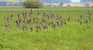 Ruff (Philomachus pugnax) flock migrating, Biebrza National Park, Poland  -  Winfried Wisniewski