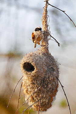 Eurasian Penduline-Tit (Remiz pendulinus) male building its nest, Biebrza National Park, Poland  -  Winfried Wisniewski