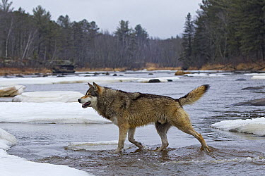 Timber Wolf (Canis lupus) crossing river, Minnesota  -  Ingo Arndt