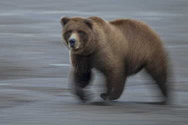 Grizzly Bear (Ursus arctos horribilis) running, Lake Clark National Park, Alaska  -  Ingo Arndt