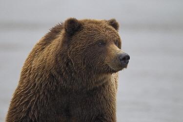Grizzly Bear (Ursus arctos horribilis), Lake Clark National Park, Alaska  -  Ingo Arndt