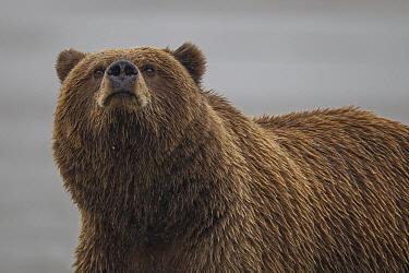Grizzly Bear (Ursus arctos horribilis) smelling air, Lake Clark National Park, Alaska  -  Ingo Arndt