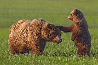 Grizzly Bear (Ursus arctos horribilis) mother playing with cub, Lake Clark National Park, Alaska  -  Ingo Arndt