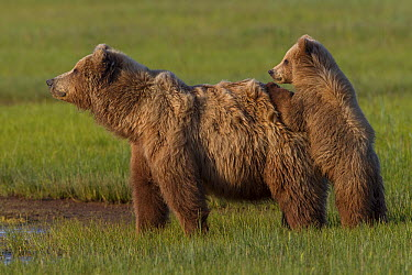 Grizzly Bear (Ursus arctos horribilis) mother with cub, Lake Clark National Park, Alaska  -  Ingo Arndt