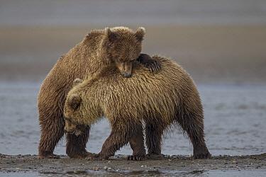 Grizzly Bear (Ursus arctos horribilis) cubs playing, Lake Clark National Park, Alaska  -  Ingo Arndt