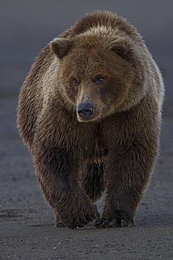 Grizzly Bear (Ursus arctos horribilis) walking on beach, Lake Clark National Park, Alaska  -  Ingo Arndt
