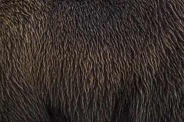 Grizzly Bear (Ursus arctos horribilis) wet fur, Lake Clark National Park, Alaska  -  Ingo Arndt
