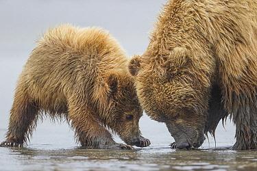 Grizzly Bear (Ursus arctos horribilis) mother and cub digging for clams on tidal flats, Lake Clark National Park, Alaska  -  Ingo Arndt