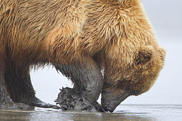 Grizzly Bear (Ursus arctos horribilis) digging for clams on tidal flats, Lake Clark National Park, Alaska  -  Ingo Arndt