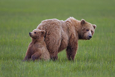 Grizzly Bear (Ursus arctos horribilis) mother with cub, Lake Clark National Park, Alaska  -  Ingo Arndt