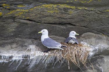 Mew Gull (Larus canus) pair on nest, Cook Inlet, Alaska  -  Ingo Arndt