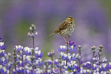 Savannah Sparrow (Passerculus sandwichensis) in field of Nootka Lupine (Lupinus nootkatensis), Alaska  -  Ingo Arndt