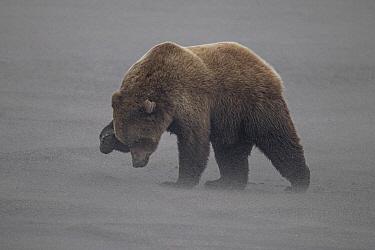 Grizzly Bear (Ursus arctos horribilis) in sandstorm on beach protecting its eyes, Lake Clark National Park, Cook Inlet, Alaska  -  Ingo Arndt