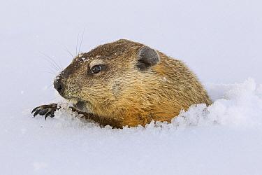 Woodchuck (Marmota monax) emerging from snow after hibernation in its burrow, Minnesota  -  Ingo Arndt