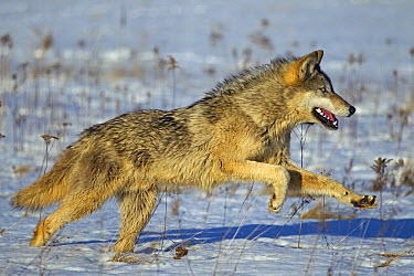 Timber Wolf (Canis lupus) running in snow, Minnesota  -  Ingo Arndt