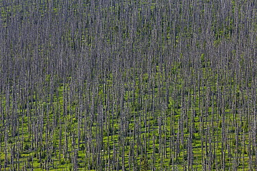 Norway Spruce (Picea abies) trees that have died after being afflicted by bark beetle, Bayrischer Wald National Park, Germany  -  Ingo Arndt