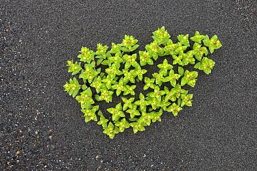 Sea Sandwort (Honckenya peploides) growing on beach, Lake Clark National Park, Alaska  -  Ingo Arndt