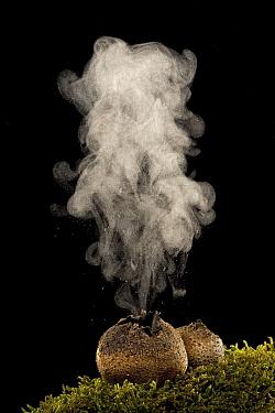 Common Earthball (Scleroderma citrinum) emitting spores, Germany  -  Ingo Arndt