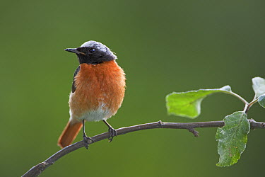 Common Redstart (Phoenicurus phoenicurus) male, Germany  -  Ingo Arndt