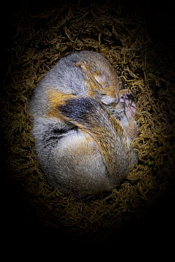 Arctic Ground Squirrel (Spermophilus parryii) hibernating in burrow, Fairbanks, Alaska  -  Ingo Arndt