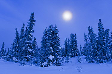 Boreal forest during winter with moon near Fairbanks, Alaska  -  Ingo Arndt