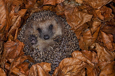 Brown-breasted Hedgehog (Erinaceus europaeus) hibernating in leaves, Germany  -  Ingo Arndt