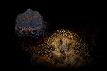 Brown-breasted Hedgehog (Erinaceus europaeus) hibernating inside hollow fallen tree, Germany  -  Ingo Arndt