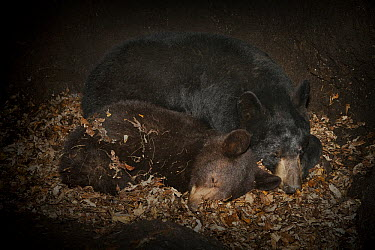 Black Bear (Ursus americanus) mother hibernating with one year old cub inside den, Minnesota  -  Ingo Arndt