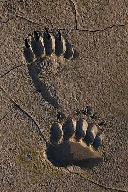 Grizzly Bear (Ursus arctos horribilis) front and rear tracks in mud, Lake Clark National Park, Alaska  -  Ingo Arndt