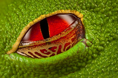 Red-eyed Tree Frog (Agalychnis callidryas) semi-transparent eyelid that allows it to see its surroundings even while resting, Costa Rica  -  Ingo Arndt