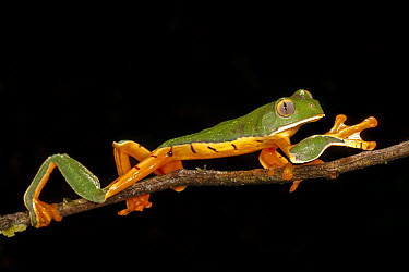 Splendid Leaf Frog (Agalychnis calcarifer) walking on branch, Costa Rica  -  Ingo Arndt