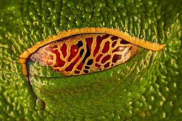 Red-eyed Tree Frog (Agalychnis callidryas) eye closed with semi-transparent eyelid that allows it to see its surroundings even while resting, Costa Rica  -  Ingo Arndt