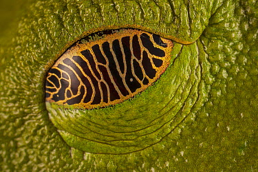 Gliding Leaf Frog (Agalychnis spurrelli) eye closed with semi-transparent eyelid that allows it to see its surroundings even while resting, Costa Rica  -  Ingo Arndt