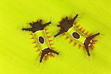 Saddleback Moth (Sibine horrida) caterpillars with poisonous spines, Costa Rica  -  Ingo Arndt