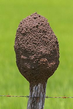 Termite mound built on top of fence post, Osa Peninsula, Costa Rica  -  Ingo Arndt